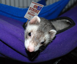 """The ferret petting zoo is the most important demand to me,"" said Boeing machinist Tom Dover.  ""An 8, 9, or even 10-hour work day can really be draining when you don't have easy access to ferrets."""